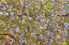 Licheni come fondo Fotografia Stock