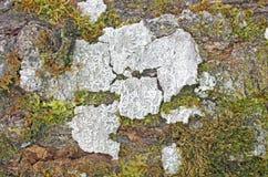 Licheni e fondo del muschio Fotografia Stock Libera da Diritti