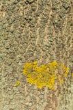 Licheni sulla corteccia dell'albero Immagini Stock Libere da Diritti