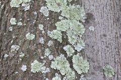Licheni in un albero a mezzogiorno Fotografia Stock