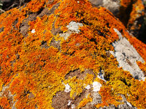 Lichens Stock Photography