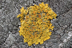 Lichens are actively growing on the trees in the parks of Moscow (Russia). Stock Images