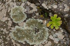 Lichens and Aeonium undulatum. Lichens and Aeonium undulatum right. Viera y Clavijo Botanic Garden. Tafira. Las Palmas de Gran Canaria. Gran Canaria. Canary Stock Photography