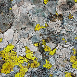 Lichens as background Stock Image