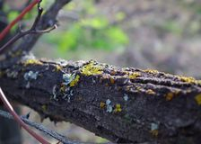 Lichens on the bark of an old tree Stock Photography