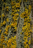 Lichens Bark Texture. Lichens Dark Bark Texture detail macro close up Royalty Free Stock Images