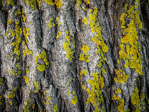 Lichens Bark Texture. Lichens Dark Bark Texture detail macro close up Stock Images