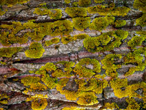 Lichens Bark Texture Royalty Free Stock Photo