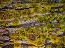 Lichens Bark Texture. Lichens Dark Bark Texture detail macro close up Royalty Free Stock Photo