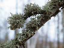 Lichens on a branch Royalty Free Stock Photos