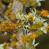 Lichens of colors on tree branch Stock Image