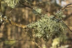 Lichens of colors on  tree branch Royalty Free Stock Images