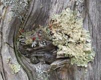 Lichens de Coloful sur une vieille barrière utilisée Post photo stock