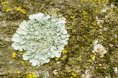 Lichens of different colors Stock Photography