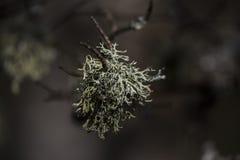 Lichens Royalty Free Stock Photo