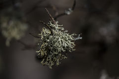 Lichens Royalty Free Stock Photo