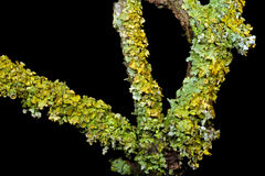 Lichens Growing on a Twig Royalty Free Stock Images