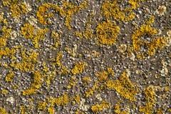 Lichens jaunes s'élevant sur un mur en pierre Image stock