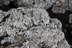 Lichens on a lava rock, from etna volcano Royalty Free Stock Image