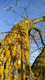 Lichens on maple tree Royalty Free Stock Image