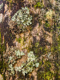 Lichens and moss on tree trunk Stock Images