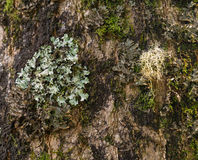 Lichens and moss on tree trunk Royalty Free Stock Photography