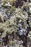 Lichens on Oak Trunk Royalty Free Stock Photos