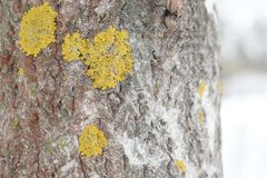 They grow on rock, walls, gravestones, roofs, exposed soil surfaces. Lichens occur from sea level to high alpine elevations, in many environmental conditions Stock Image
