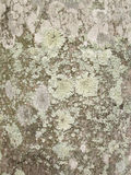 Lichens on palm tree bark background Stock Images
