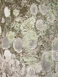 Lichens on palm tree bark background Stock Photography