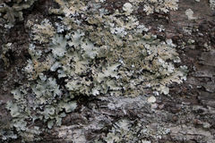 Lichens Royalty Free Stock Images