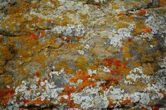 Lichens on a rock. Colorful lichens growing on the surface of a rock Royalty Free Stock Photo