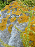 Lichens on Rock. With foreground plant scrambling over them beside the sea in Dublin, Ireland Stock Image