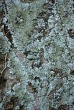 Lichens sur le manguier Photo stock