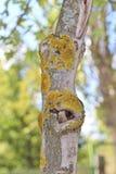 Lichens sur le tronc d'arbre d'érable Photographie stock