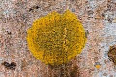 Lichens are symbiotic fungi. And algae Stock Image