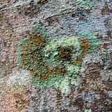 Lichens are symbiotic fungi Royalty Free Stock Images