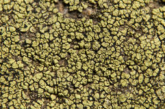 Lichens are symbiotic fungi and algae. They are able to grow on the rocks clean and often form on the rocks and stones beautiful patterns  Lichen on a green Royalty Free Stock Image