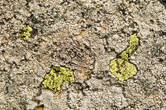 Lichens are symbiotic fungi and algae. Royalty Free Stock Photography
