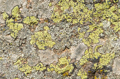 Lichens are symbiotic fungi and algae. They are able to grow on the rocks clean and often form on the rocks and stones beautiful patterns  Lichen on a green Royalty Free Stock Photos