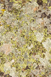 Lichens are symbiotic fungi and algae. They are able to grow on the rocks clean and often form on the rocks and stones beautiful patterns  Lichen on a green Royalty Free Stock Images
