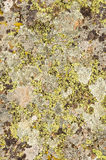 Lichens are symbiotic fungi and algae. They are able to grow on the rocks clean and often form on the rocks and stones beautiful patterns  Lichen on a green Royalty Free Stock Photo