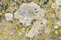 Lichens are symbiotic fungi and algae. They are able to grow on the rocks clean and often form on the rocks and stones beautiful patterns  Lichen on a green Stock Images