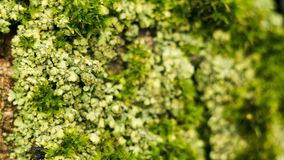 Lichens are symbiotic fungi and algae. They are able to grow on the rocks clean and often form on the rocks and stones. Beautiful patterns Lichen on a green Royalty Free Stock Photography