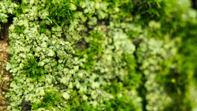 Lichens are symbiotic fungi and algae. They are able to grow on the rocks clean and often form on the rocks and stones. Beautiful patterns Lichen on a green Royalty Free Stock Images