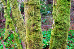 Lichens on tree barks royalty free stock photography