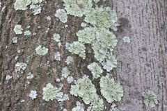 Lichens in a tree at noon Stock Photography