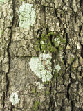Lichens on trees Stock Photography