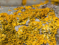 Lichens on the Trunk of a Poplar. Detail of yellow lichen covering the bark of a poplar Royalty Free Stock Images
