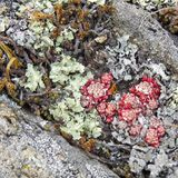 Lichens verts, rouges, jaunes, gris parmi les pierres photos libres de droits